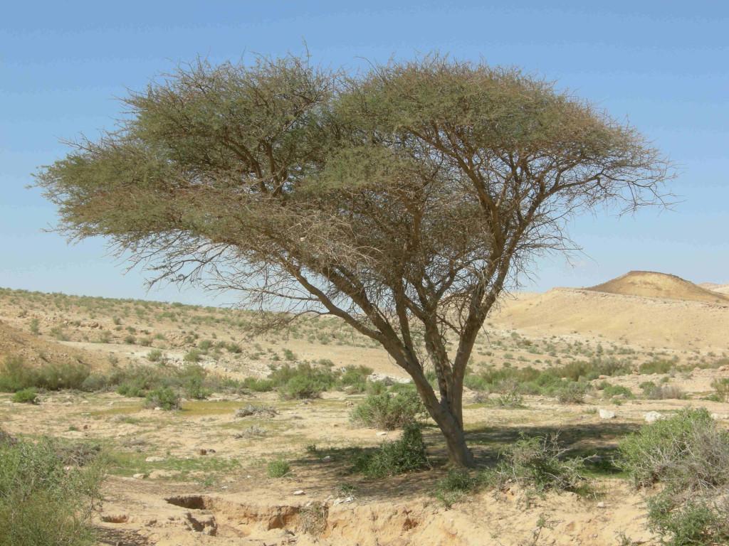 Acacia sp. komp.