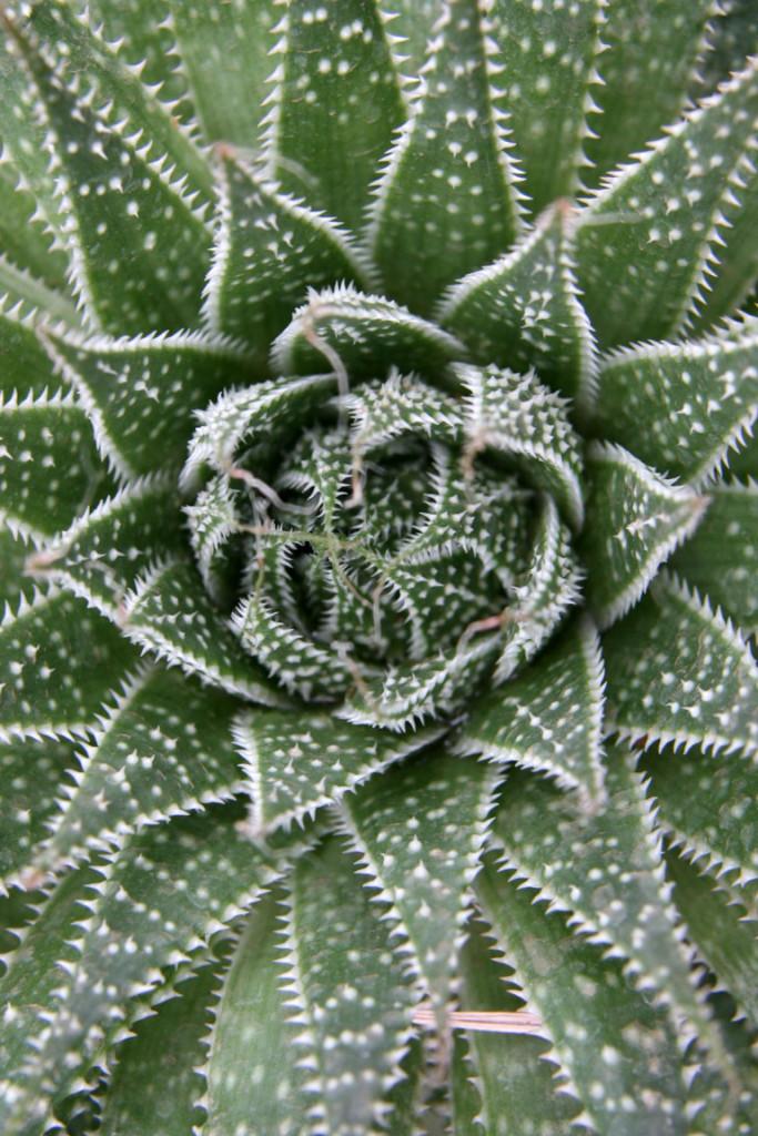Aloe aristata 870