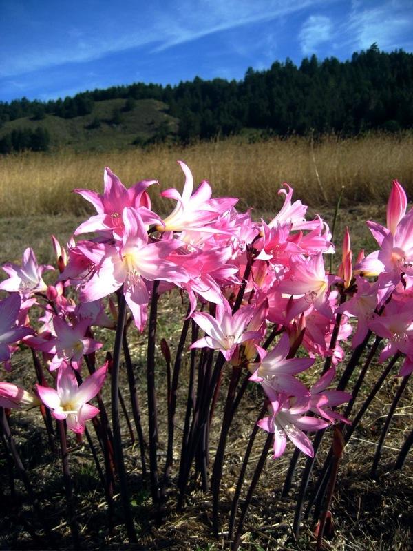 Amaryllis belladonna 870
