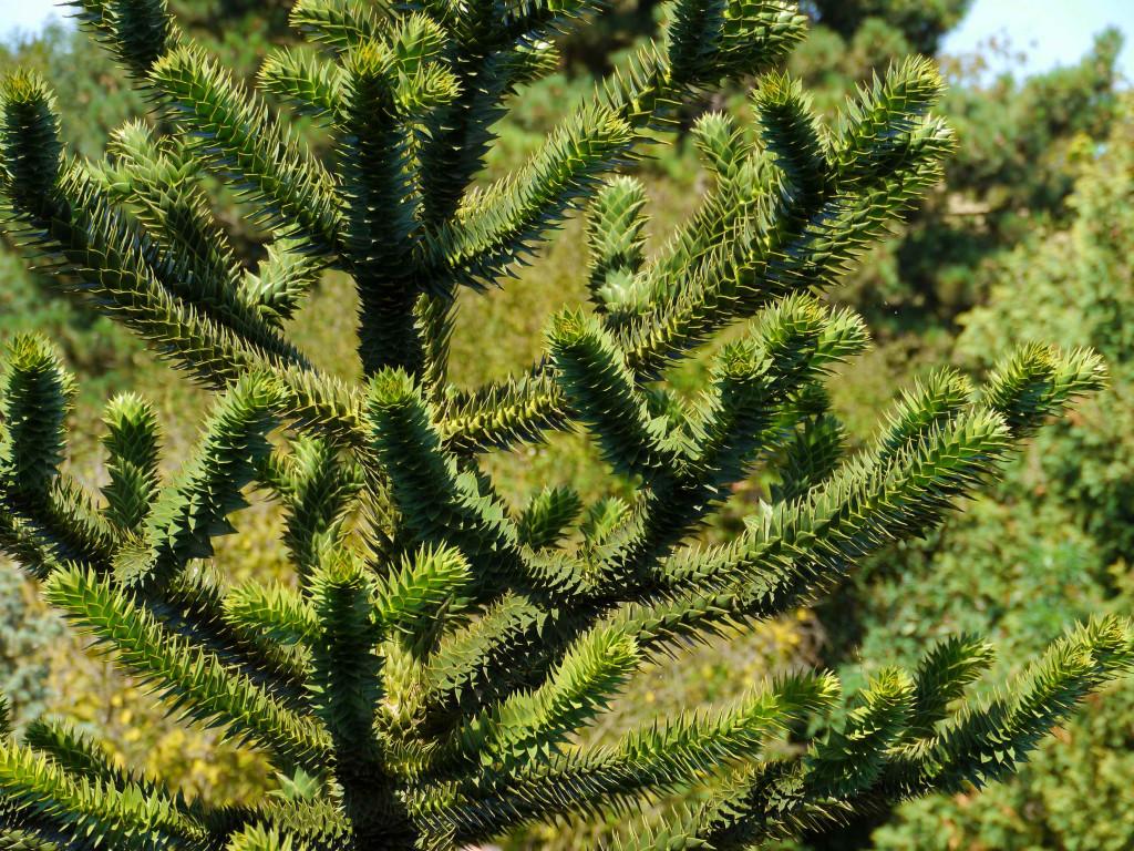 Araucaria araucana 871_picnik