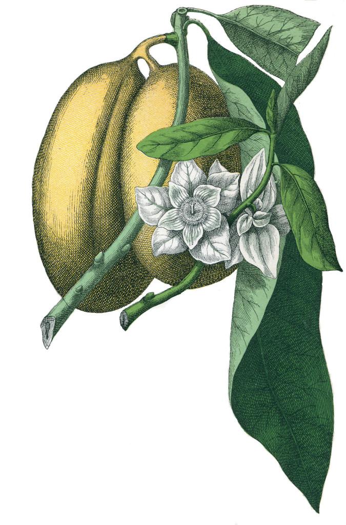 Asimina triloba (plansch) 870.3