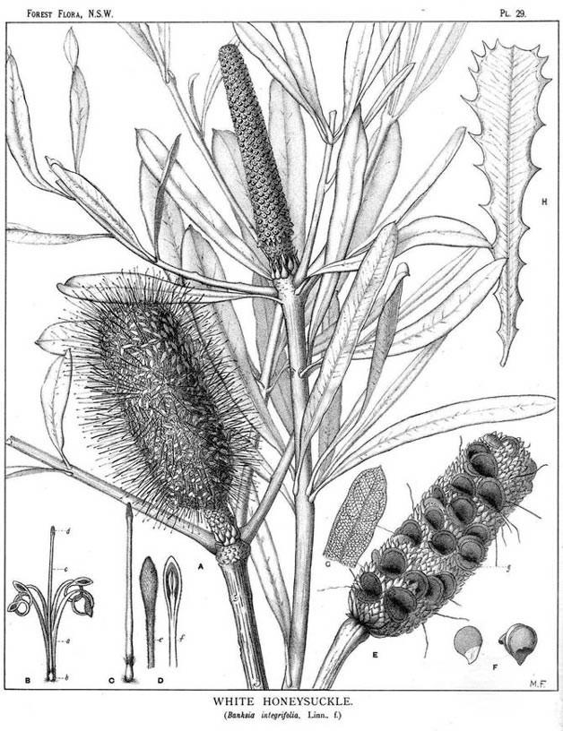 Banksia integrifolia (teckn.) 870