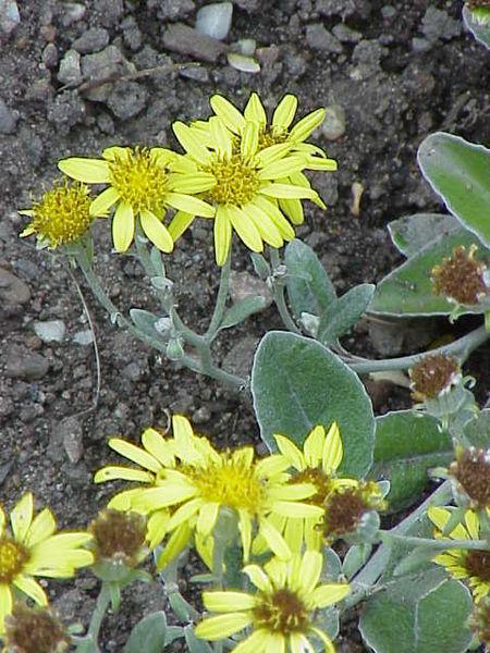 Brachyglottis greyi 870 m.l. (Kurt Stüber) W