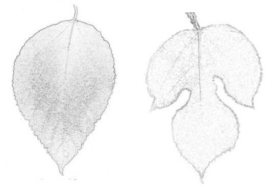 Broussonetia papyrifera (olika bladtyper)