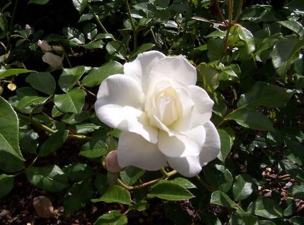 Camellia (blomma) 4