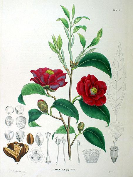 Camellia japonica (teckn.) 870