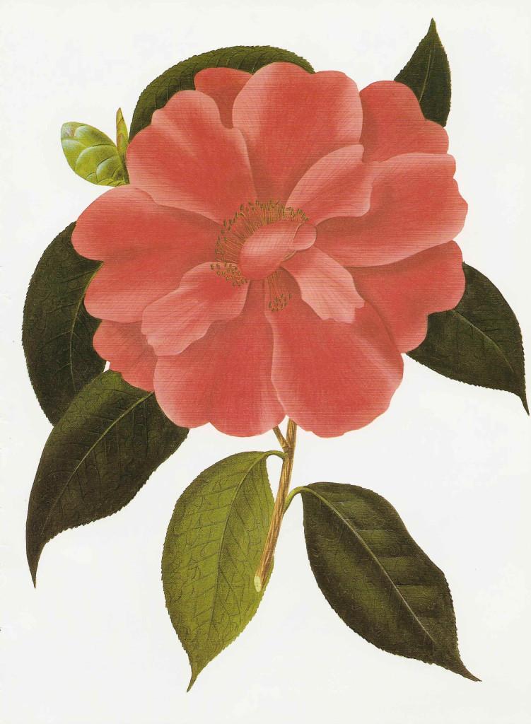 Camellia reticulata 870.2