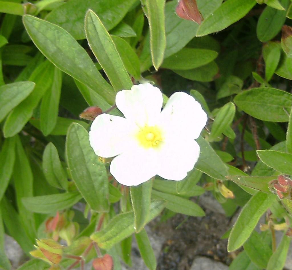 Cistus albanicus m. blomma 120606