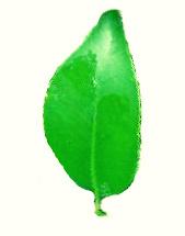 Cleyera japonica
