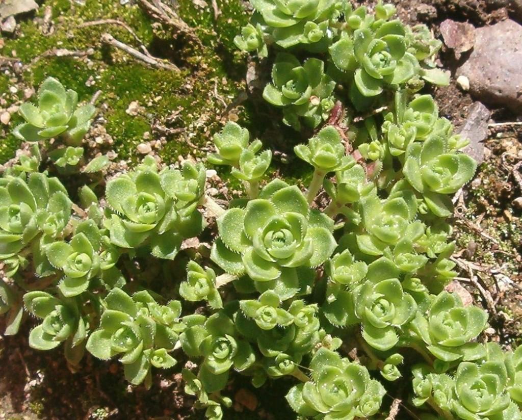 Crassula milfordiae