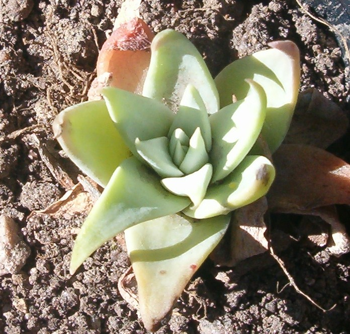Dudleya saxosa ssp. collomiae (Yavapai Co, Az, 1402m.) 080624 EB 2