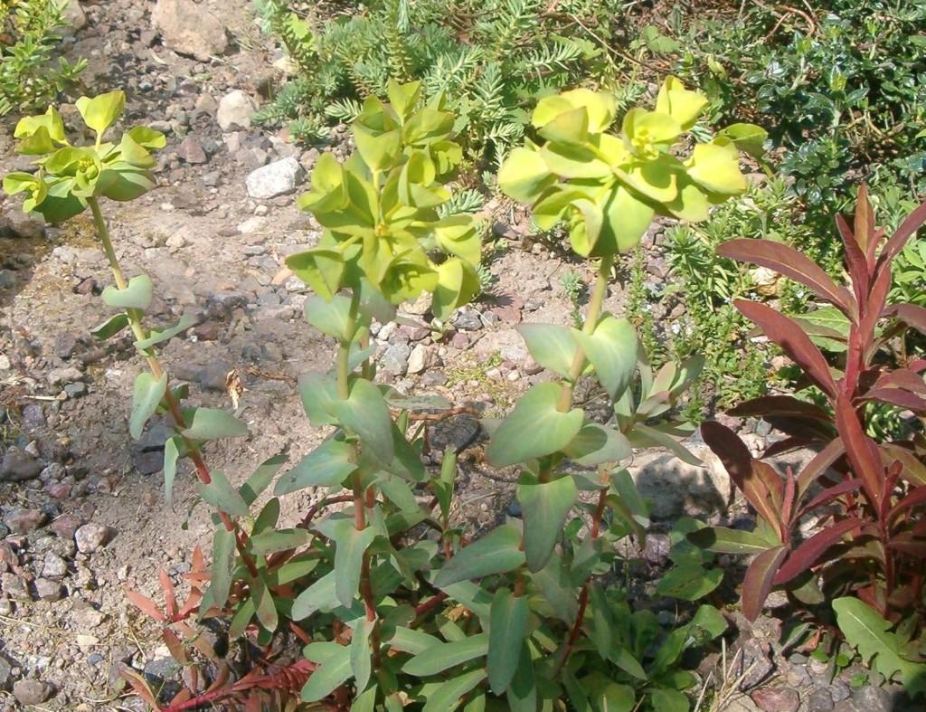 Euphorbia baselicis m. blmr.