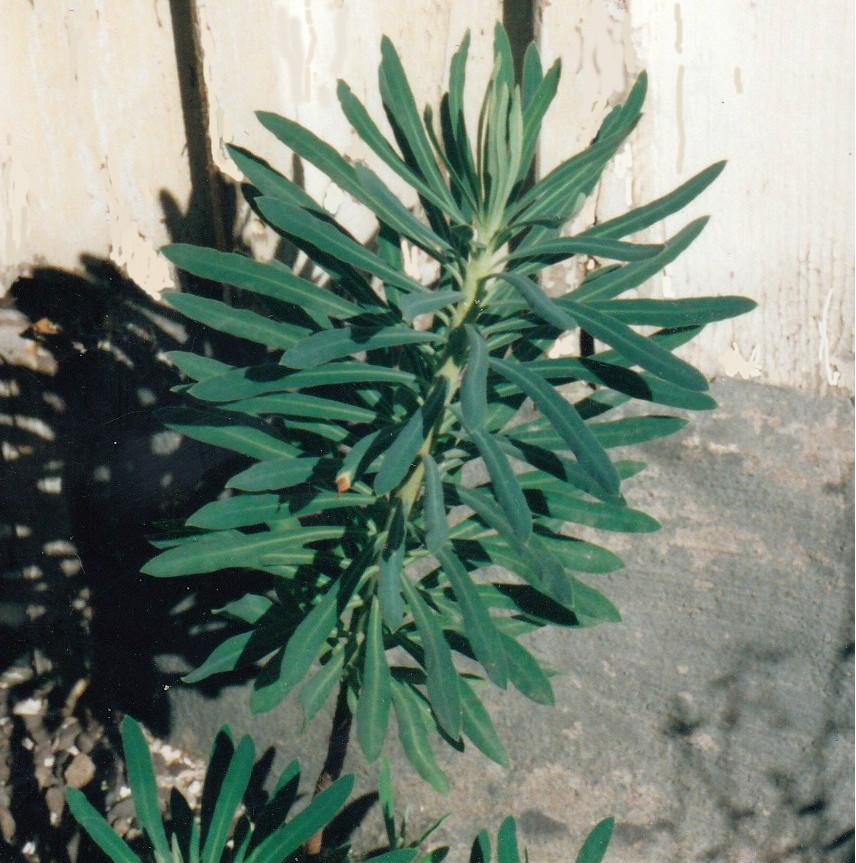 Euphorbia caracias ssp. wulfenii EB 2