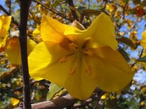 Fremontodendron californicum 870 m.l. (Bouba)