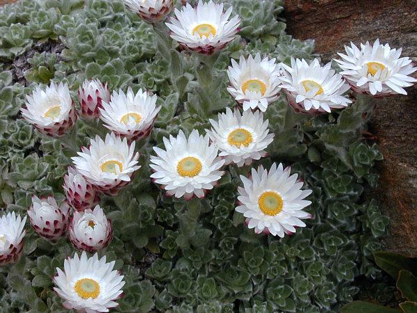 Helichrysum milfordiae 870 m.l. (Philippe Pechoux) W