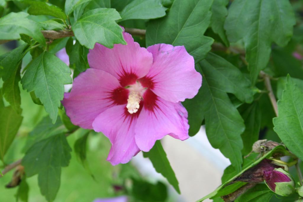 Hibiscus syriacus 870
