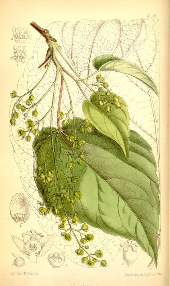 Idesia polycarpa (teckn.) 870
