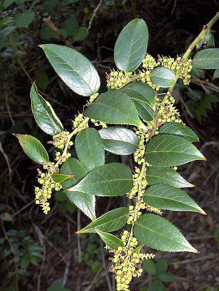 Leucothoe fontanesiana 870 m.l. (homeredwardprice) W