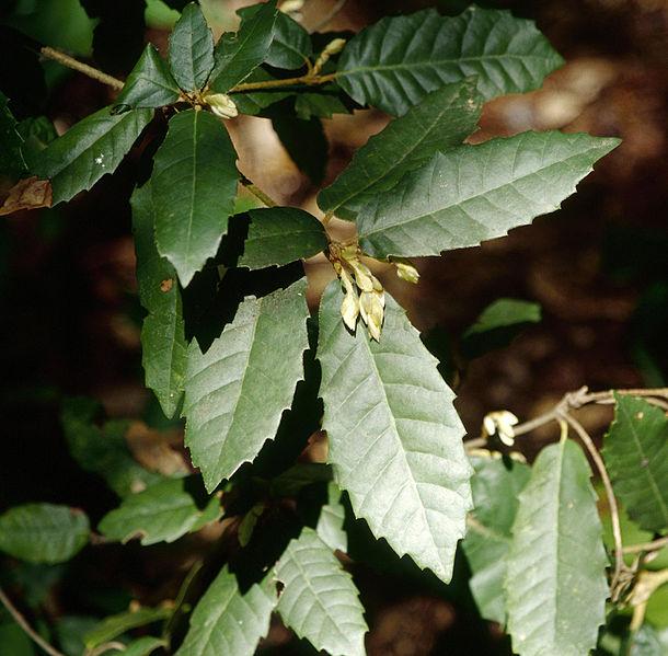 Lithocarpus densiflorus 870 m.l. (Joseph O'Brien) W