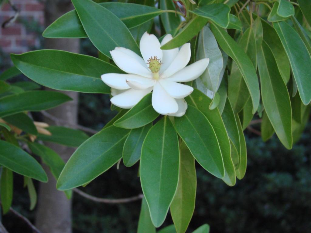 Magnolia virginiana 870.2