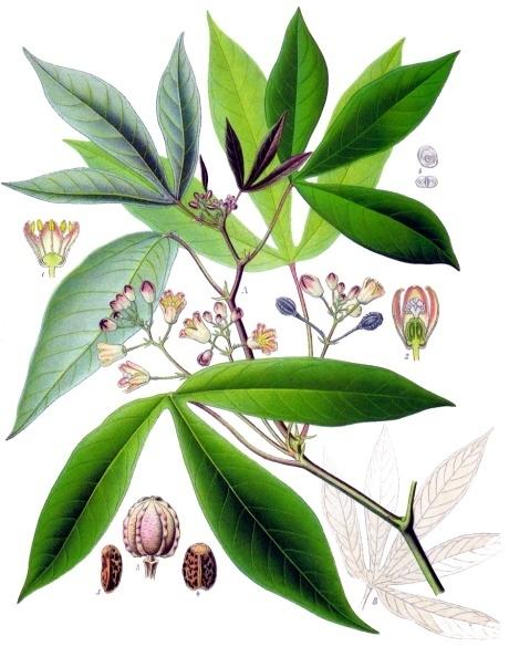 Manihot esculenta (teckn.) 870