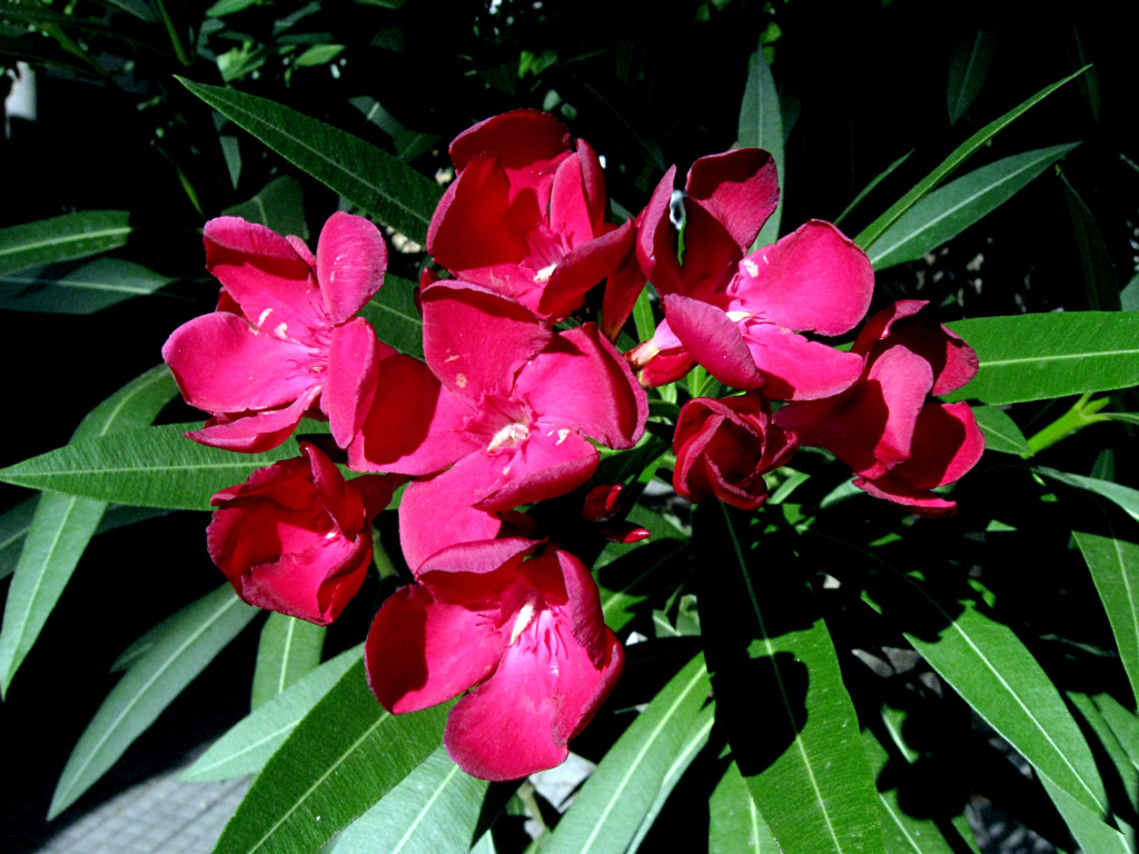 Nerium oleander 871