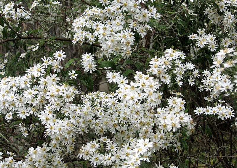 Olearia phlogopappa 870 m.l. (A. Barra) W