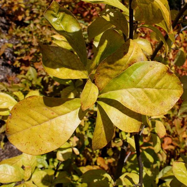 Orixa japonica 870 m.l. (Bruce Marlin) W