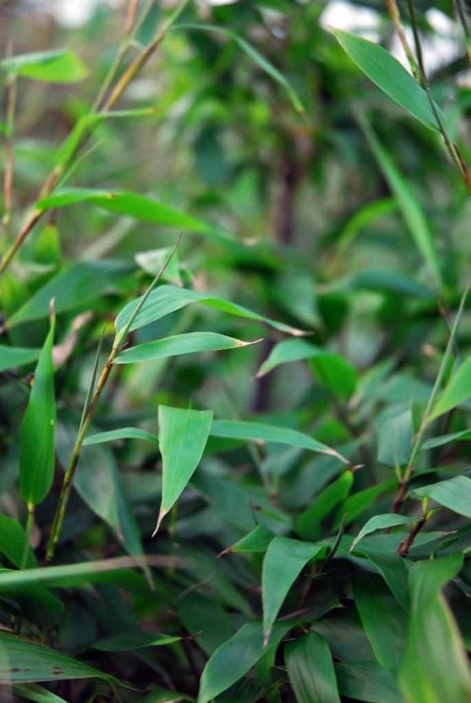 Phyllostachys nigra 871_picnik