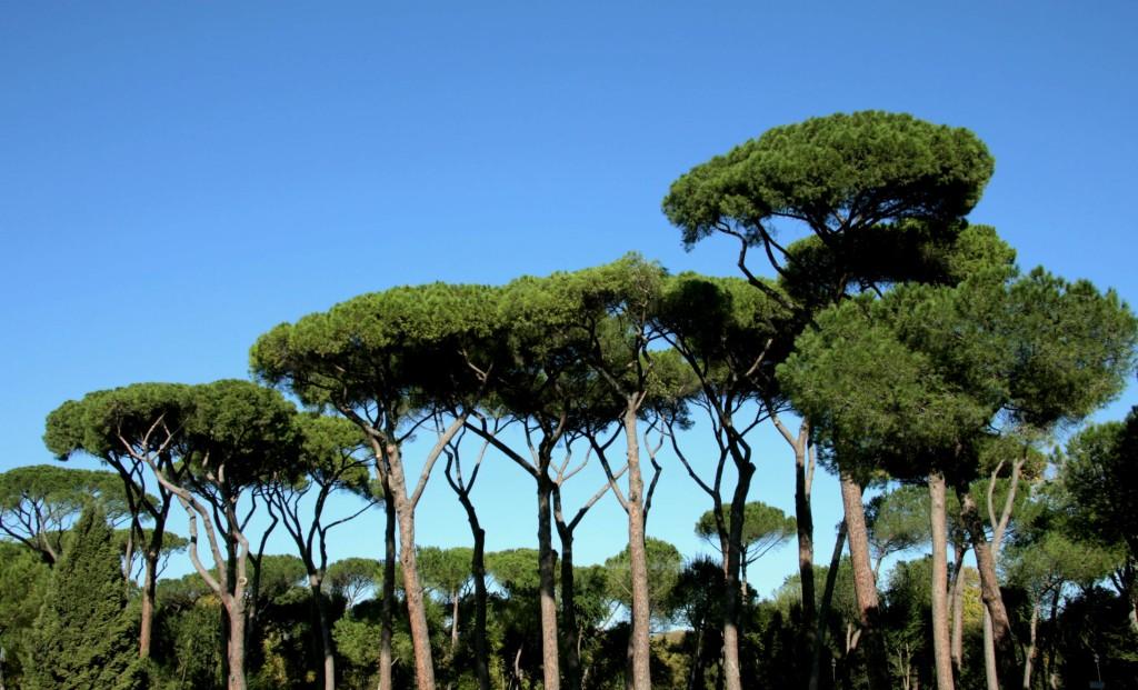 Pinus pinea 870.2_picnik