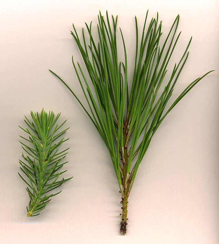 Pinus pinea (barr) 870