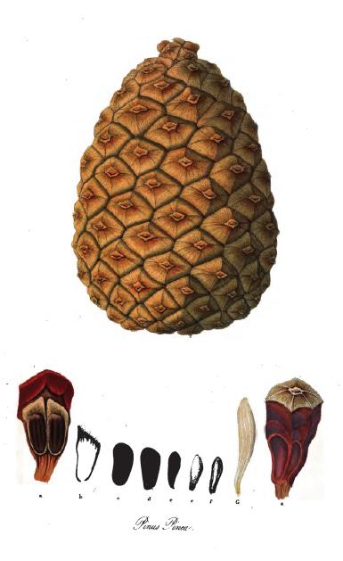 Pinus pinea (teckn. kotte) 870