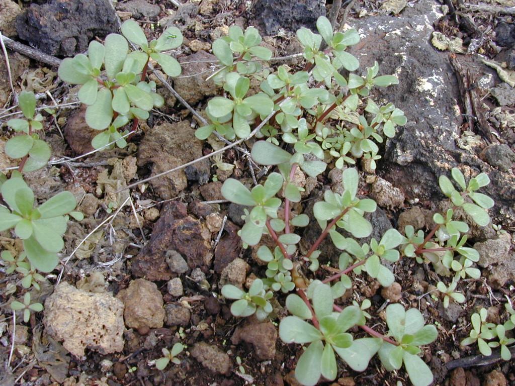 Portulaca oleracea 870