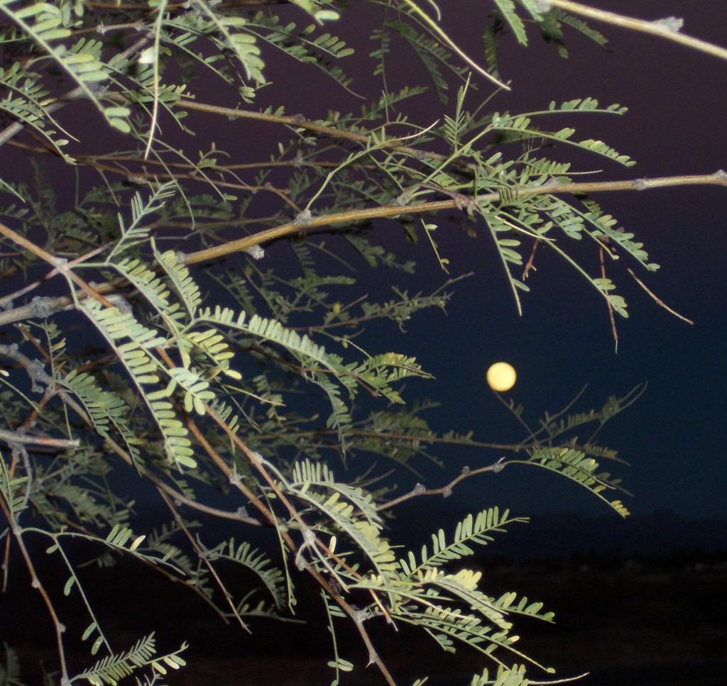 Prosopis glandulosa 870.2