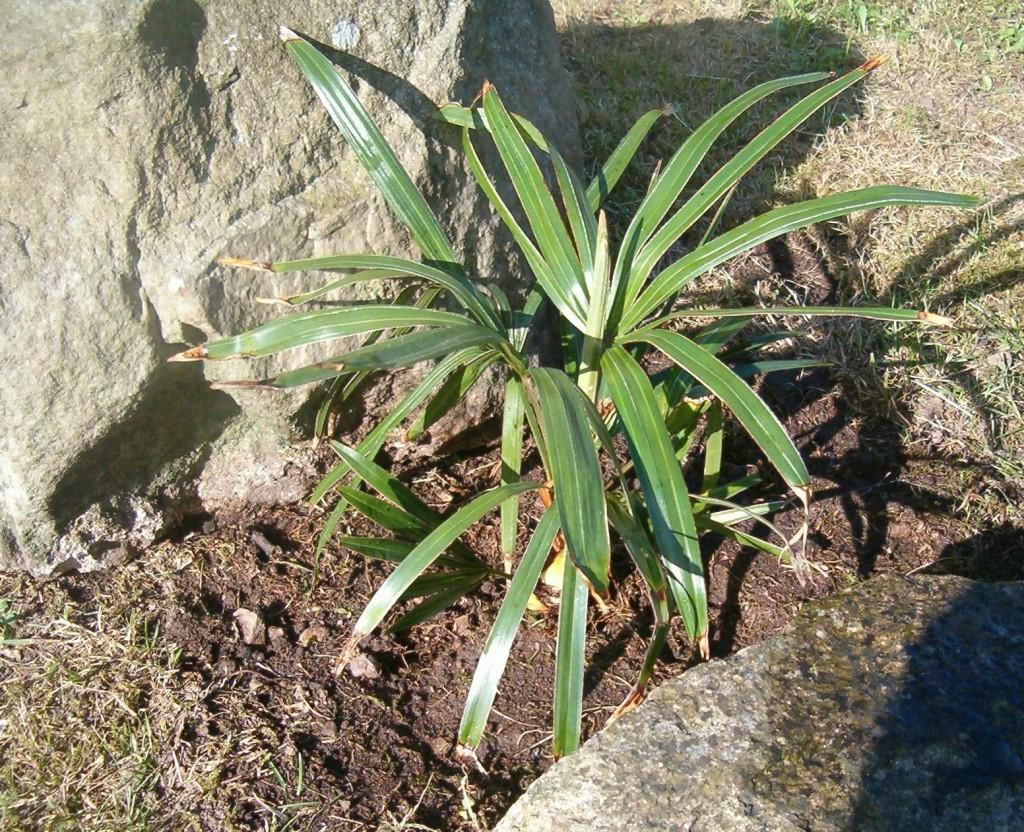 Rhapidophyllum hystrix 2