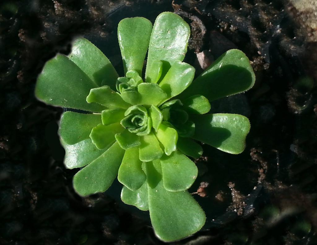 Rosularia sempervivum ssp. libanotica 570.2