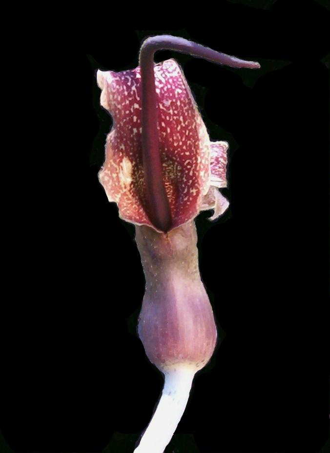 Sauromatum venosum (Arum cornutum) blomma