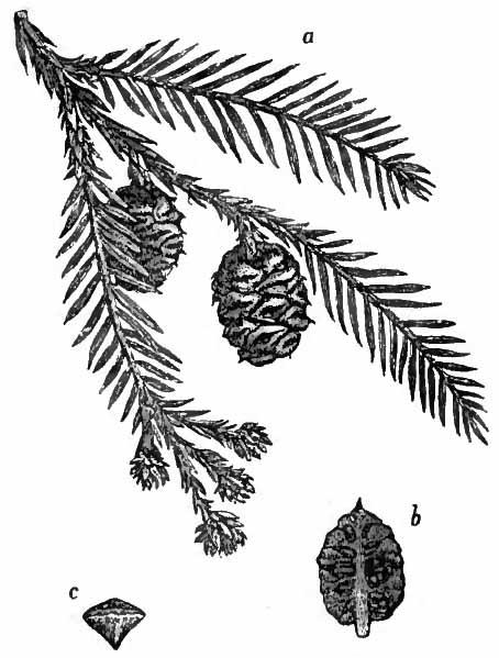 Sequoia sempervirens (teckn.) 870