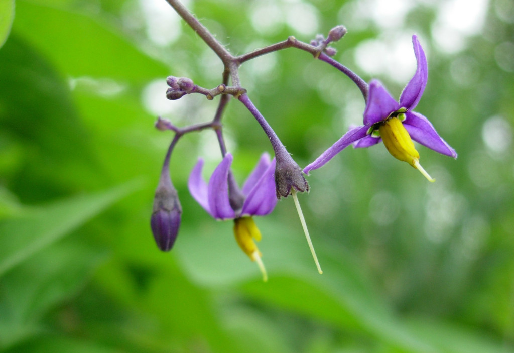 Solanum crispum 870