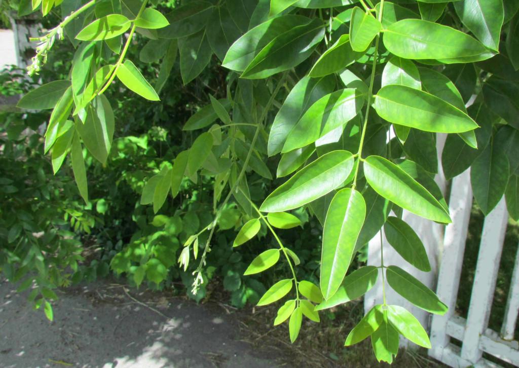 Styphnolobium japonicum 570.2
