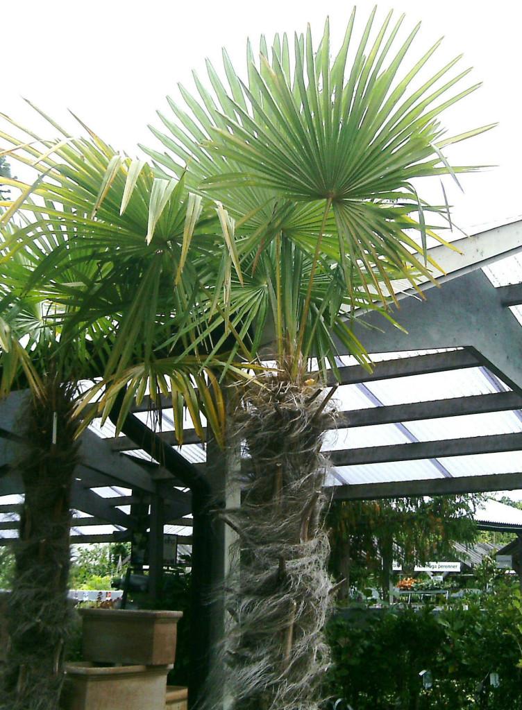 Trachycarpus fortunei 120710