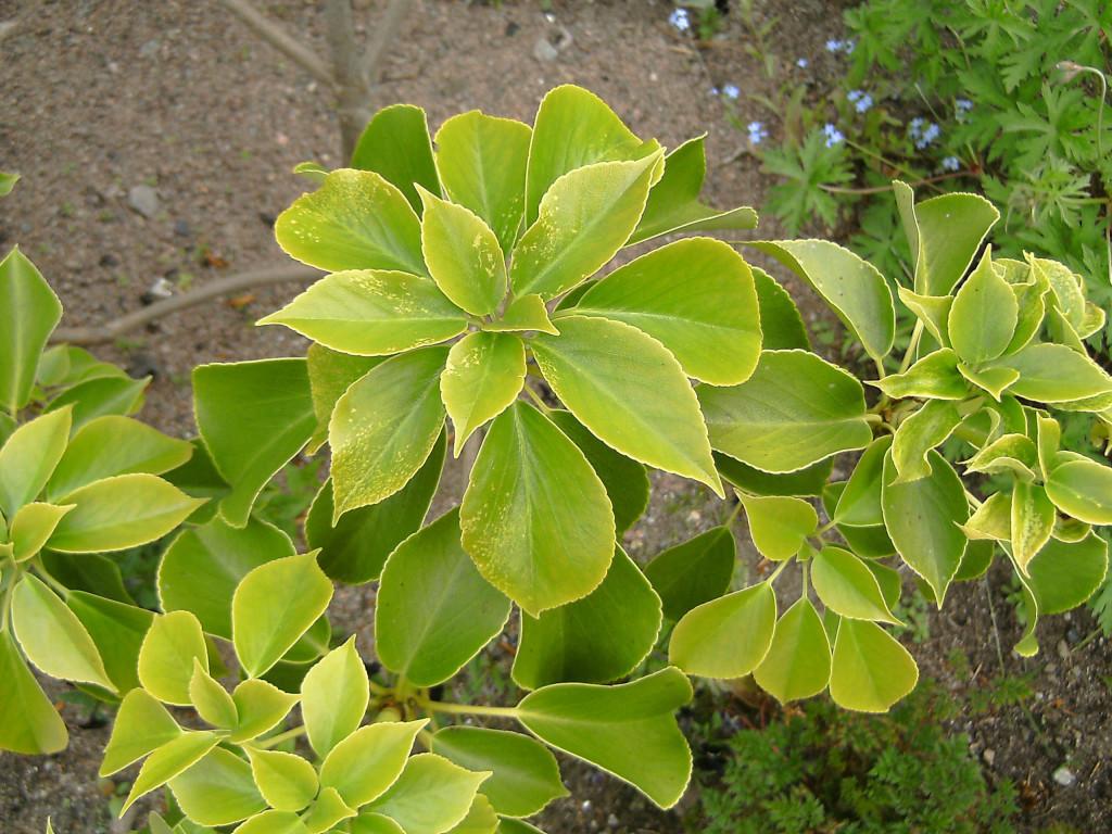 Trochodendron aralioides 120606 2 - Kopia
