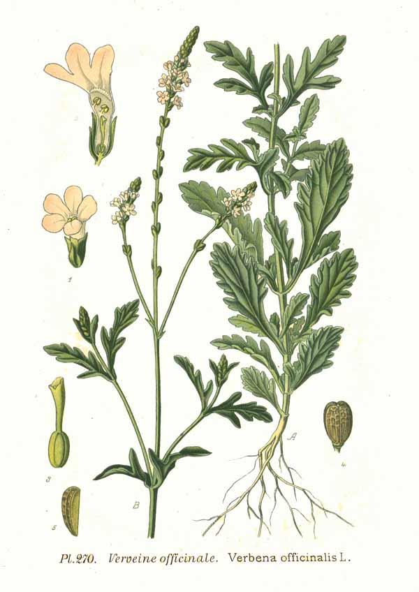 Verbena officinalis (teckn.) 870