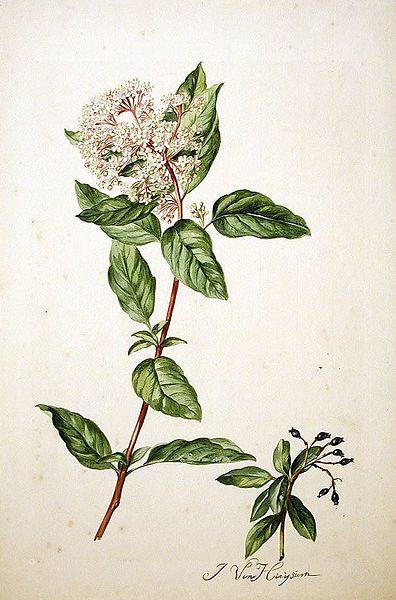 Viburnum tinus 870 W