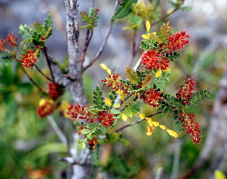 Weinmannia trichosperma 870 m.l. (Franz Xaver) W