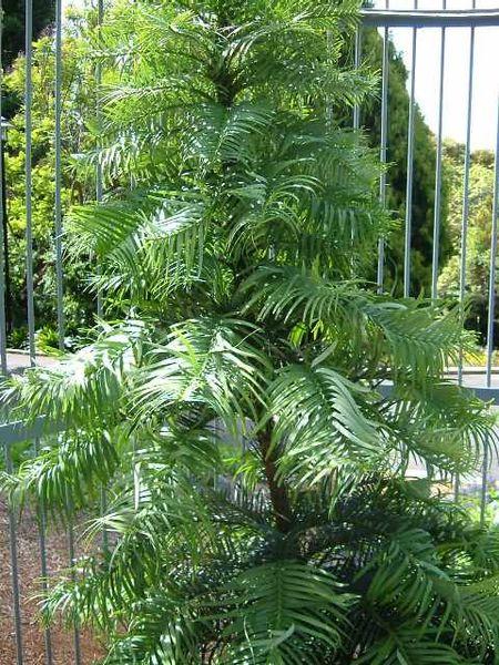 Wollemia nobilis 870 m.l. (Securiger) W