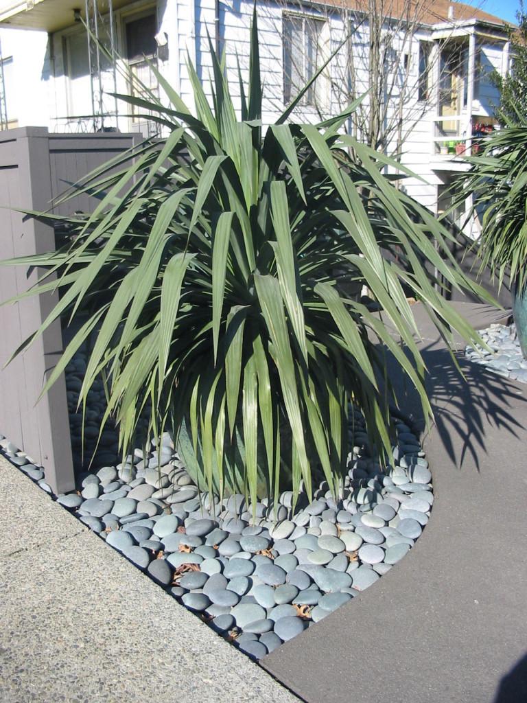 Yucca recurvifolia 872