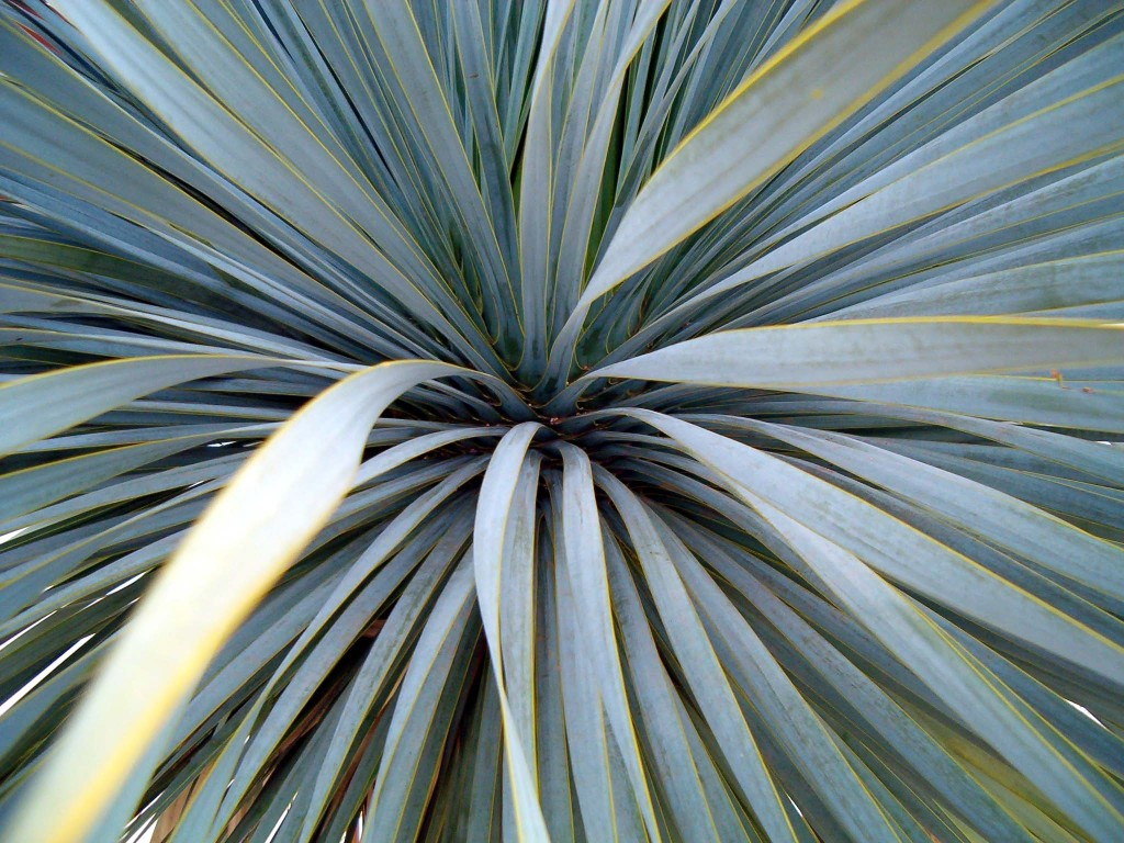 Yucca rostrata 870