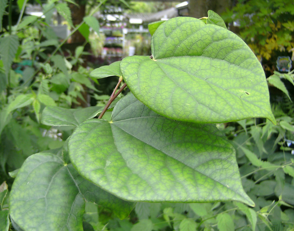 Cercis chinensis 120710
