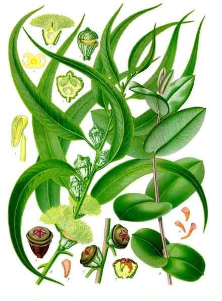 Eucalyptus sp. (teckn.) 870
